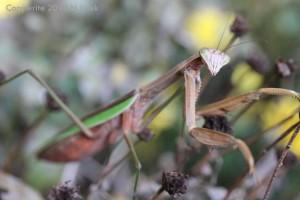 mantis copy copy
